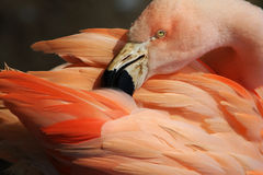 Flamingo making her toilet Royalty Free Stock Image