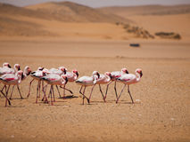 Flamingo march in Namib desert. (Walvis Bay, Namibia Stock Image