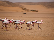 Flamingo march in Namib desert. (Walvis Bay, Namibia Royalty Free Stock Photo