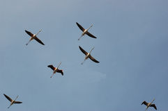 Flamingo-Menge Lizenzfreies Stockfoto