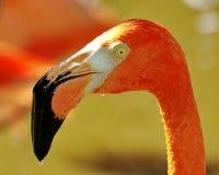 Flamingo met Nat Hoofd. Royalty-vrije Stock Foto