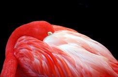 Flamingo met Zwarte Achtergrond Royalty-vrije Stock Afbeeldingen