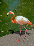 Flamingo in Mexican Patio. Red Flamingo close to the water in the sun Royalty Free Stock Photography