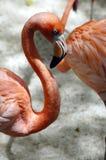 Flamingo mexicano Fotografia de Stock Royalty Free
