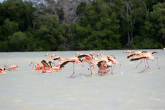 Flamingo of mexico Royalty Free Stock Images