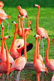 Flamingo in Miami zoo Royalty Free Stock Photography