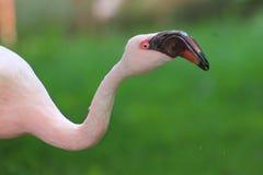 flamingo mindre Arkivbilder