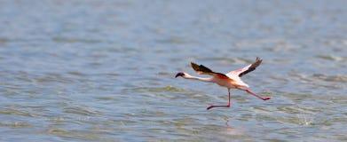 flamingo mindre av att ta Royaltyfri Fotografi