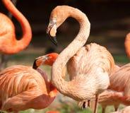 Flamingo mit dem Kurven des Stutzens Stockbilder