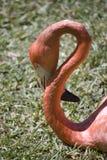 Flamingo mit gebogenem Stutzen Lizenzfreie Stockbilder