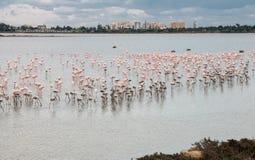 Flamingo mooie wilde Vogels bij het zoute meer Cyprus van Larnaca Stock Foto