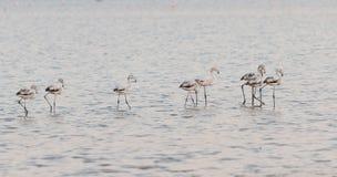 Flamingo mooie wilde Vogels bij het zoute meer Cyprus van Larnaca Royalty-vrije Stock Afbeeldingen