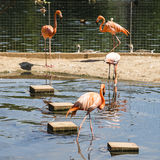 Flamingo in Moscow Zoo Stock Image