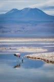 Flamingo and mountain reflection on lake. Chaxa Salar, Atacama Desert, Chile Stock Photo