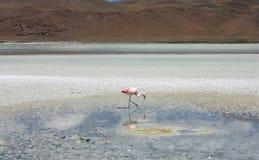 Flamingo nära Salar de Uyuni i Bolivia arkivbild