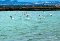 Flamingo na água Imagens de Stock Royalty Free