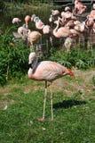 Flamingo na grama Fotos de Stock Royalty Free