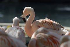Flamingo na luz solar Fotografia de Stock Royalty Free