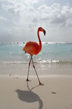 Flamingo na praia Fotografia de Stock Royalty Free