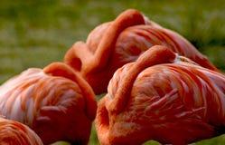 Flamingo Nap. A group of pink Flamingos late a nap Royalty Free Stock Photography