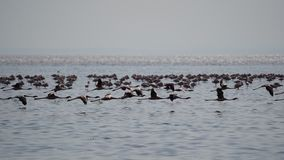 Flamingo Natron sjö, Tanzania royaltyfria bilder