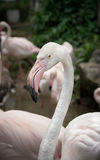 Flamingo ,nature and wildlife. Stock Images