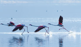 Flamingo near Bogoria Lake, Kenya Royalty Free Stock Photography