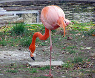 Flamingo near the lake Stock Images