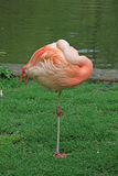 Flamingo near a pond. A flamingo with it's head tucked in sleeping Royalty Free Stock Photos