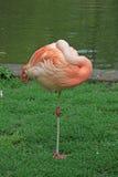 Flamingo near a pond Royalty Free Stock Photos