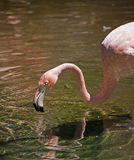 Flamingo Near Water. A flamingo near water with its reflection Stock Photos