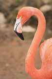 Flamingo neck Royalty Free Stock Photo