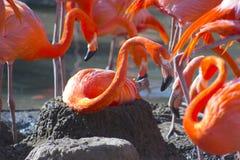 Flamingo on the nest Royalty Free Stock Photo
