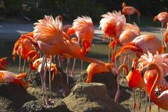 Flamingo on the nest Royalty Free Stock Image