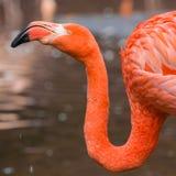Flamingo. Nice vibrant orange feathers, in its own habitat Royalty Free Stock Photos