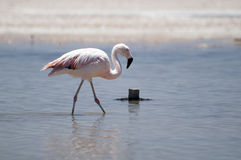 Flamingo no deserto de Atacama fotos de stock royalty free