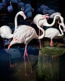 Flamingo no jardim zoológico de Chiang Mai Imagens de Stock