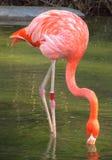 Flamingo no lago fotografia de stock royalty free
