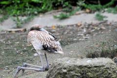 Flamingo novo Fotografia de Stock