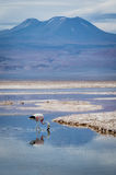 Flamingo- och bergreflexion på sjön Arkivfoto