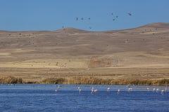 Flamingo och gees Arkivfoto