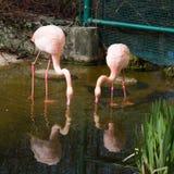 Flamingo och reflexion för två rosa färger i vattnet Arkivbild