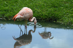 Flamingo och reflexioner Arkivbild