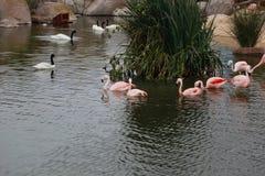 Flamingo och svanar i dammet royaltyfri fotografi
