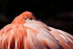Flamingo at the Oklahoma City Zoo. Close up of a flamingo resting at the Oklahoma City Zoo in Oklahoma City, OK Royalty Free Stock Images
