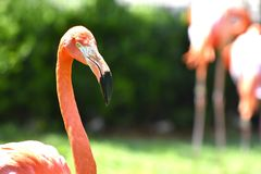 Flamingo, Oklahoma City Zoo. Flamingo, photographed at the Oklahoma City Zoo, Wildlife photo. Bright Orange plumage royalty free stock images
