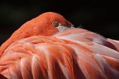 Flamingo am Oklahoma- Cityzoo lizenzfreies stockfoto