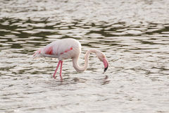 Flamingo. A  flamingo in Olbia`s gulf Stock Image