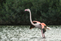 Flamingo. A flamingo in Olbia`s gulf Royalty Free Stock Photos