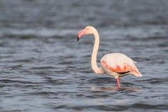 Flamingo. A flamingo in Olbia`s gulf Royalty Free Stock Image